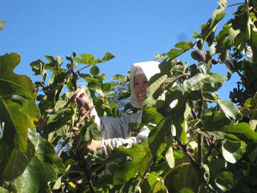 Nun picking figs